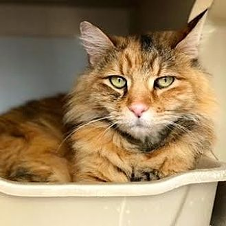 Domestic Longhair Cat for adoption in Denver, Colorado - Willow