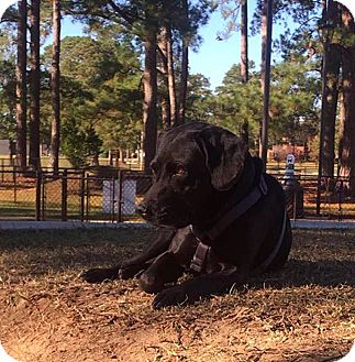 Labrador Retriever/Basset Hound Mix Dog for adoption in Goldsboro, North Carolina - Chewy