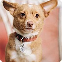 Adopt A Pet :: Fox - Portland, OR