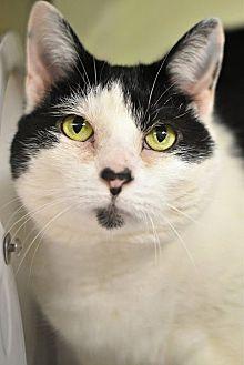 Domestic Shorthair Cat for adoption in Philadelphia, Pennsylvania - LITTLE ONE!