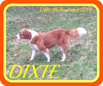 St. Bernard Mix Dog for adoption in Jersey City, New Jersey - DIXIE