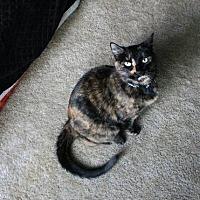 Calico Cat for adoption in Costa Mesa, California - Primm