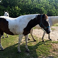 Adopt A Pet :: Alexa - Southwest Ranches, FL