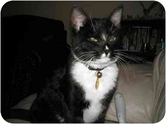 Domestic Shorthair Cat for adoption in Washington Terrace, Utah - Fatcat