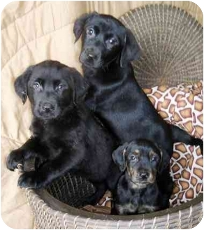 Labrador Retriever Mix Puppy for adoption in Salem, Massachusetts - Simmy's puppies
