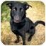 Photo 3 - Labrador Retriever/Husky Mix Puppy for adoption in Ile-Perrot, Quebec - NAYA