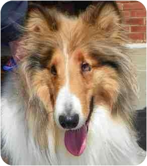 Collie Dog for adoption in Loudonville, New York - Paige