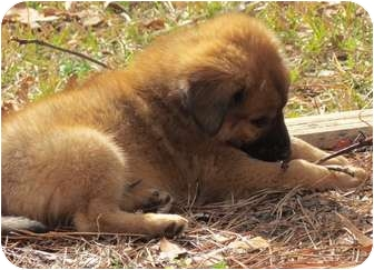 Chow Chow/Husky Mix Puppy for adoption in Smithfield, North Carolina - Rusty