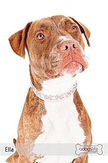 "Dogue de Bordeaux/American Staffordshire Terrier Mix Dog for adoption in Scottsdale, Arizona - Ella ""PLEASE SOMEBODY LOVE ME"""