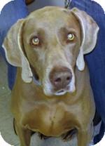 Weimaraner Dog for adoption in St. Louis, Missouri - Heidi