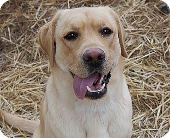 Labrador Retriever Mix Dog for adoption in Murphysboro, Illinois - Capri