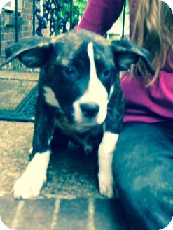 American Bulldog/Labrador Retriever Mix Dog for adoption in Hatifeld, Pennsylvania - Solomon