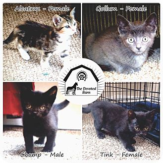 Domestic Shorthair Kitten for adoption in Ortonville, Michigan - DB Kittens