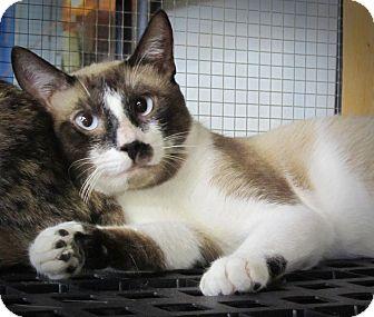 Snowshoe Cat for adoption in Seminole, Florida - Cade