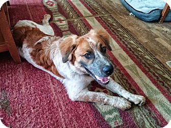 St. Bernard/Australian Cattle Dog Mix Puppy for adoption in Manhattan, Kansas - Cooper
