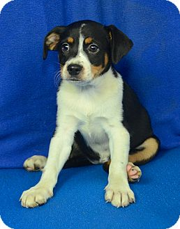 Shepherd (Unknown Type)/Cattle Dog Mix Puppy for adoption in Groton, Massachusetts - Aniyah