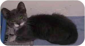American Shorthair Kitten for adoption in Aledo, Illinois - Tuff