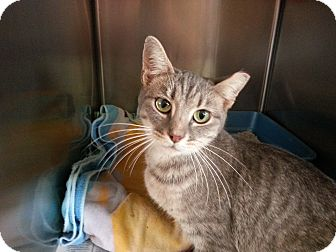 American Shorthair Cat for adoption in Colonial Heights, Virginia - Tippy