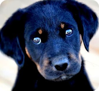 Labrador Retriever/Gordon Setter Mix Puppy for adoption in Winchester, Kentucky - FINN(THE SURPRISE PUPPY!!)