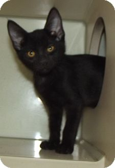 Domestic Shorthair Kitten for adoption in Cheboygan, Michigan - Dexter