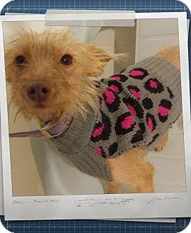 Norfolk Terrier Mix Dog for adoption in Apache Junction, Arizona - Pumpkin