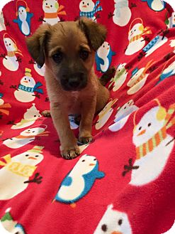 Shepherd (Unknown Type) Mix Puppy for adoption in South San Francisco, California - Kylo