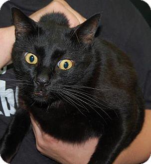 Domestic Shorthair Cat for adoption in Brooklyn, New York - Bagheera