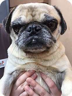 Pug Dog for adoption in Westminster, California - Duckie