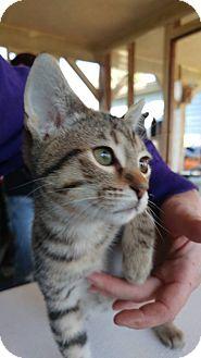 Domestic Shorthair Kitten for adoption in Clarkson, Kentucky - Rika