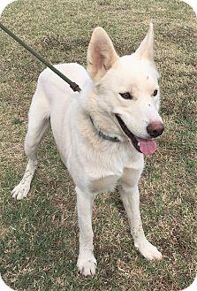German Shepherd Dog Dog for adoption in Saratoga Springs, New York - Leggo ~ ADOPTED!