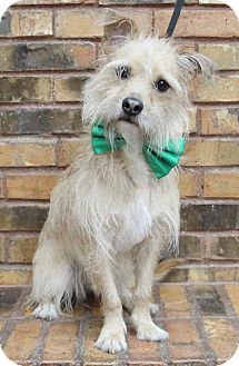 Terrier (Unknown Type, Small) Mix Dog for adoption in Benbrook, Texas - Baxter