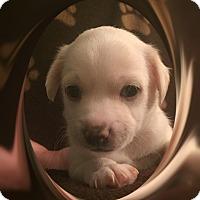 Adopt A Pet :: Linus - NV - Tulsa, OK