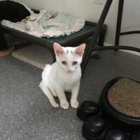 Adopt A Pet :: Desi - Randleman, NC