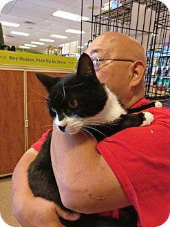Domestic Shorthair Cat for adoption in Avon, Ohio - Domino