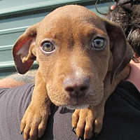 Adopt A Pet :: Lakota - Reeds Spring, MO