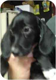 Beagle/Labrador Retriever Mix Puppy for adoption in Old Bridge, New Jersey - Kai