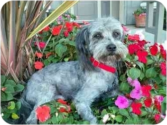 Lhasa Apso/Poodle (Miniature) Mix Dog for adoption in Los Angeles, California - QUENTIN