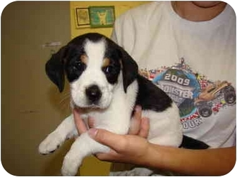 Jack Russell Terrier/Beagle Mix Puppy for adoption in Vandalia, Illinois - Parker