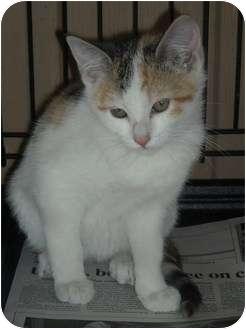 Calico Kitten for adoption in Newburgh, Indiana - Tootsie