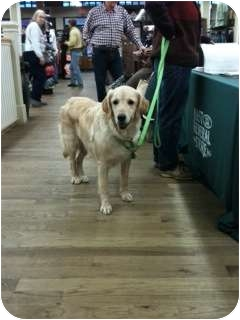 Golden Retriever Dog for adoption in Windam, New Hampshire - Lady