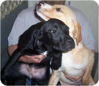 Labrador Retriever Mix Puppy for adoption in Mt. Vernon, Illinois - Doja and Jane
