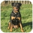 Photo 2 - Rottweiler Mix Dog for adoption in Frederick, Pennsylvania - Zoey