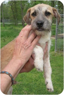Terrier (Unknown Type, Small)/Border Terrier Mix Dog for adoption in Westport, Connecticut - *Scruffy - PENDING