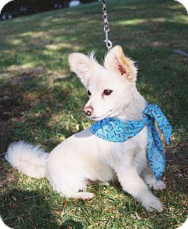 Corgi/Papillon Mix Dog for adoption in Lomita, California - Bogey