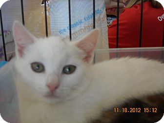 Domestic Shorthair Kitten for adoption in Riverside, Rhode Island - Kaitlyn