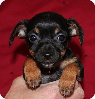 Dachshund Mix Puppy for adoption in Bend, Oregon - Sydney
