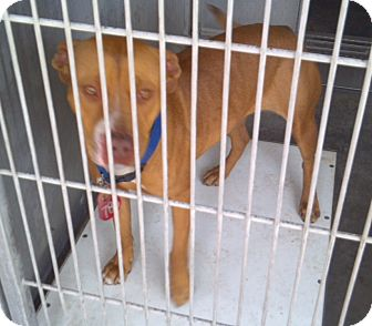 Staffordshire Bull Terrier Mix Dog for adoption in San Diego, California - Goldy URGENT