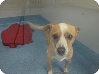 Chihuahua/Jack Russell Terrier Mix Dog for adoption in Gainesville, Florida - Rocky