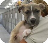 Pit Bull Terrier Mix Puppy for adoption in Sandusky, Ohio - ROGUE