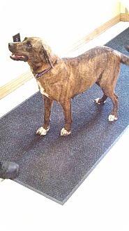 Labrador Retriever Mix Dog for adoption in Morgantown, West Virginia - Molly